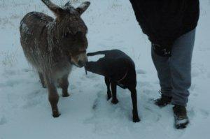 Frozen Donkey