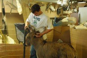 spoiled donkey